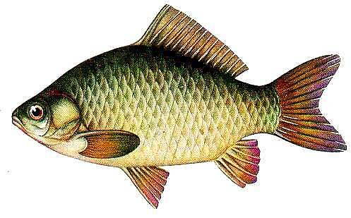 лещ фото рыба