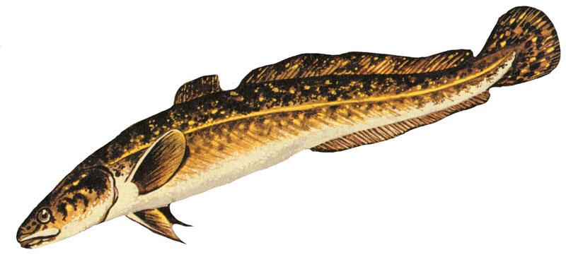 котлеты рыбные из ельца рецепт